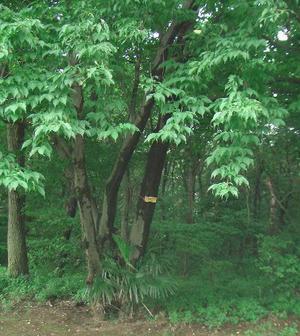 (仮称)川越市森林公園のウワミズザクラ