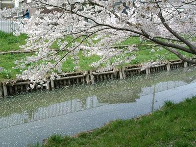 田谷堰-氷川神社間にある新河岸川のサクラ並木(2005年4月撮影)