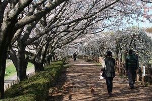 小畔水鳥の郷公園の桜のトンネル